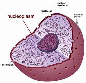 Plant Life  Nucleoplasm