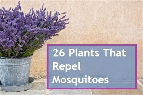 what can i use to keep mosquitoes away 26 plants that repel mosquitoes