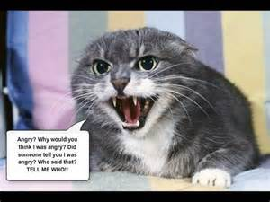 angry cat 19 best images about angry cats on cats