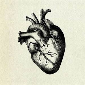 human heart drawing | Human Heart - Cllctr: The collection ...