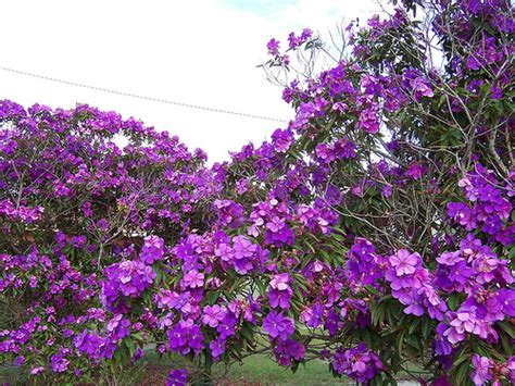tree with small purple flowers photo