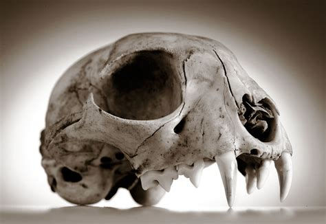 Robin Loznak Photography: Animal skulls with seamless ...