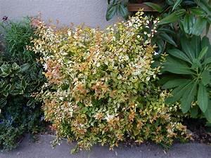 Abelia Grandiflora Kaleidoscope : abelia kaleidoscope good in a tight spot san francisco ~ Melissatoandfro.com Idées de Décoration