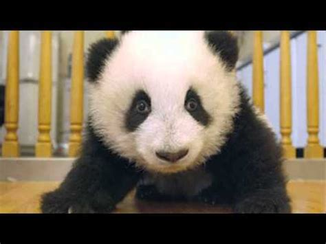 Sneezing Panda Meme - sneezing baby panda youtube