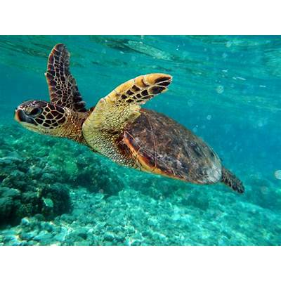 How do they protect themselves? - Green Sea Turtles