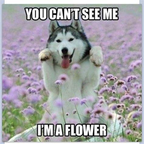 Husky Memes - funny meme dogmeme husky flowers nature dogtricks www anilols co uk for more funny