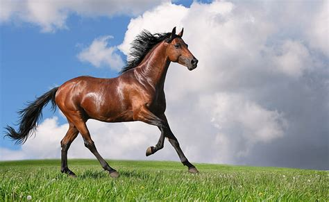 horse running horses animals brown hd domestic flare