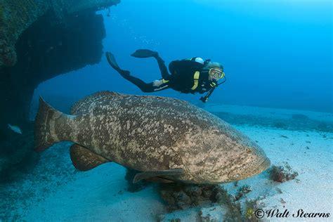 goliath atlantic grouper giant species ocean mag xray underwater eats diver ray save