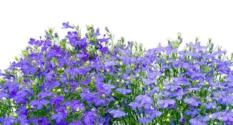 small white border flowers thousands small dark blue small flowers border isolated on white stock photo colourbox