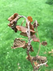 Hortensien Blätter Werden Braun Frost : rotbuche laciniata fagus sylvatica laciniata g nstig aus ~ Lizthompson.info Haus und Dekorationen