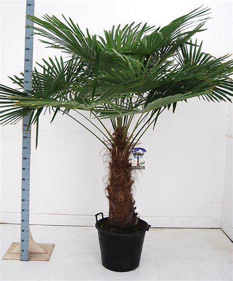 bol palmbomen tuin en balkonplant trachycarpus fortunei doorsnede pot 50cm