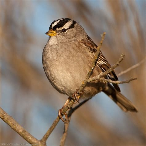 white crowned sparrow birds pinterest