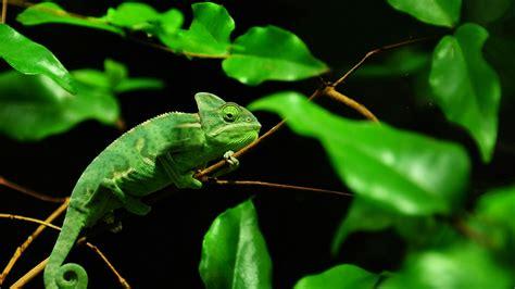 green chameleon  ultrahd wallpaper wallpaper studio