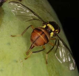 Fruit Fly Eggs