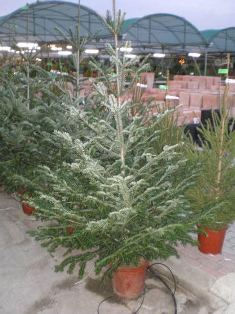 arboles de navidad venta 2 garden catalunya plants sant