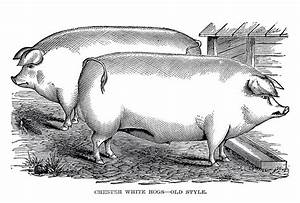 Vintage Farm Clip Art 2 Portly Pigs The Graphics Fairy