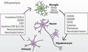 Microglia and early brain development: An intimate journey ...