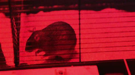 gegen ratten vorgehen ratten was sie 252 ber ratten wissen sollten ratten