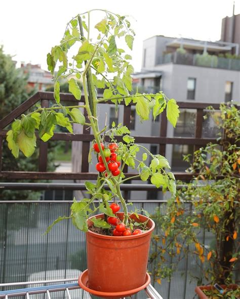 13 basic tomato growing tips for containers to grow best