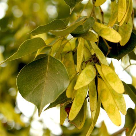 buy sisham indian rosewood plant   nursery