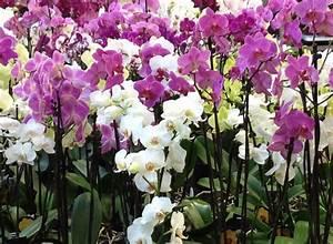 Luftwurzeln Bei Orchideen : kann man orchideen selber einf rben und nachf rben ~ Frokenaadalensverden.com Haus und Dekorationen