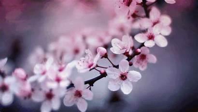 Sakura Flower Blossom Cherry Blossoms Emoji Rose