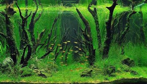 carpeting carpet live aquarium plants other plants and carpets