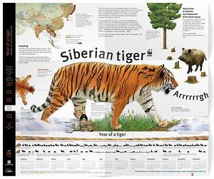Infographic poster about the Siberian tiger