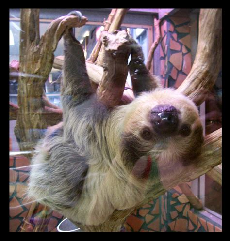 sloths as pets the gallery for gt sloths as pets