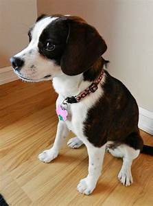 Boglen Terrier (Boston Terrier-Beagle Mix) Info, Puppies ...