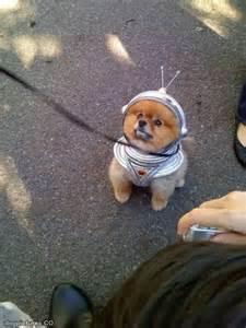 Funny Pomeranian Costumes