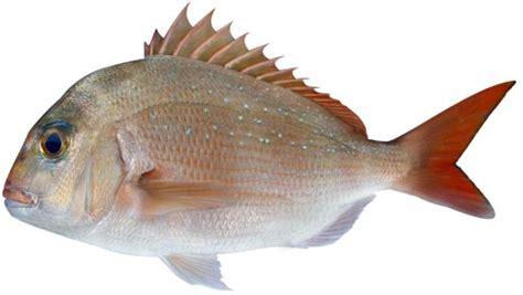 snapper pagrus auratus nsw department  primary industries