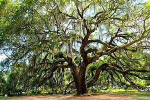 Majestic Oak 1 Photograph by Kay Mathews