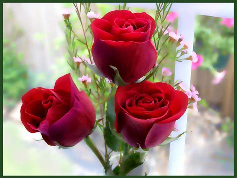 Beautiful Rose Red Rose Flowers Red Rose Wallpapers