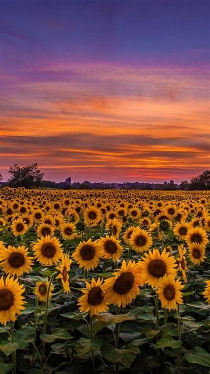 Sunflower Sunflowers Iphone Sunset Field Wallpapers Aesthetic