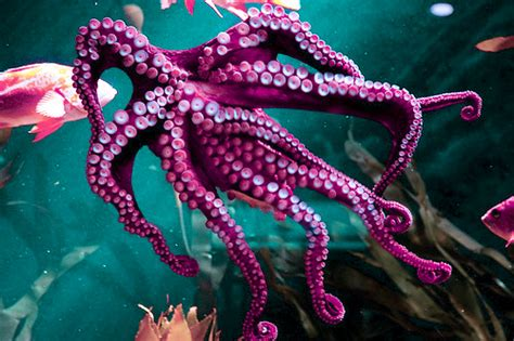 what color is an octopus color colors fish octopus favim 424132 jpg 500