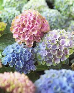 picture of a hydrangea flower everyday gardeners