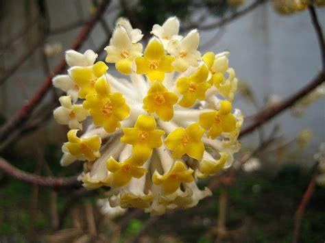 bureau de poste ouverture la plante à découvrir le edgeworthia ou buisson à papier