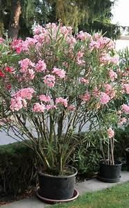Oleander Im Winter : oleander erfolgreich berwintern winter pinterest garden plants und shrubs ~ Orissabook.com Haus und Dekorationen