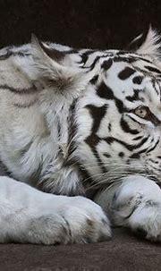 Awake eye of a white bengal tigress Kali   White bengal ...