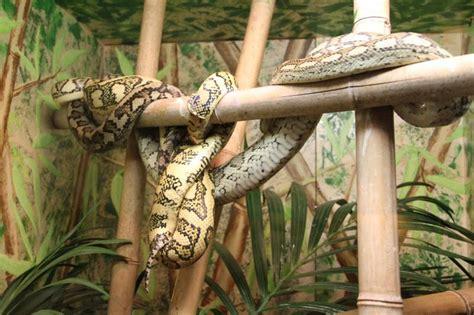 pitone tappeto inaugurato il rettilario di galceti guarda la visita