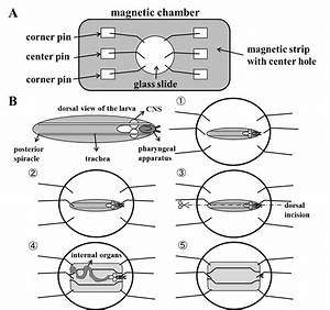 Electrophysiological Recording In The Drosophila Larval