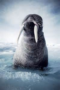 North Pole Walrus