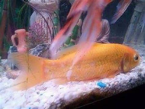 urgent poisson toujours au fond de l aquarium poisson