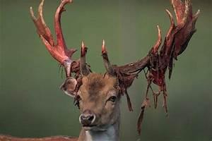 10 Amazing Photos Of Bucks Shedding Their Velvet