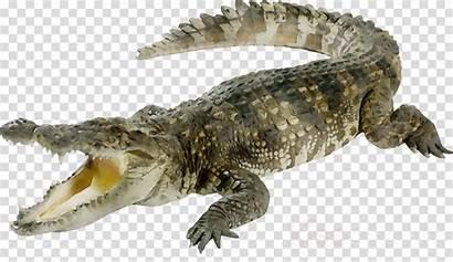 Crocodile Alligator Clipart Saltwater Lizard Transparent Cartoon