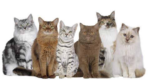 wie viele katzenrassen gibt es katzen rassen die tier