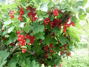 Rote Johannisbeeren Schneiden : johannisbeeren pflanzen johannisbeeren pflanzen darauf ~ Lizthompson.info Haus und Dekorationen