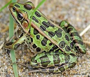 leopard frog | Volvoab