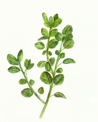 Oregano Watercolor Herb Printables Printable Rosemary Graphics